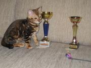 Бенгальские   котята. кот.кошка...