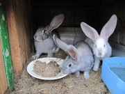 Продам кролей Николаев