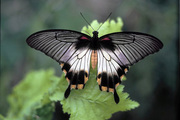 Живые бабочки на праздник