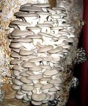 Грибы вешенка опт/розница;  грибные блоки;  органическое удобрение