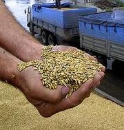 Скупаем зерновые и масличные культуры разных качеств