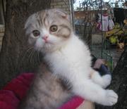 Шотландских вислоухих и британских плюшевых котят.