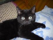 Черненький шотландский котенок