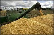 Закупаем зерновые и масличные культуры, самовывоз                     .