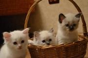 Продам голубоглазых котят ,  невские маскарадные