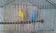 Попугаи. Дарю. Отдам попугаев бесплатно.