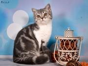 Продаются шотландские котята от элитных производителей