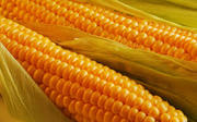 куплю кукурузу, сою, пшеницу