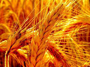 куплю пшеницу, с/х продукцию