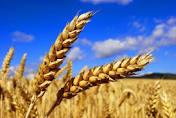 Закупка пшеницы!ДОРОГО!