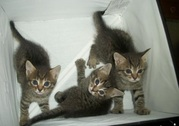 Котята ищут дом! В хорошие руки!