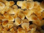Птица оптом и в розницу,  цыплята,  утята,  куры