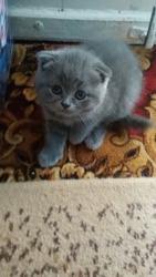 продам Вислоухих котят
