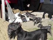 Продаю замечательных щенков Кане Корсо