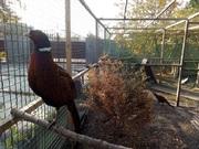 Продам охотничьих фазанов,  молодёж