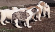 Продам щенков среднеазиатской овчарки возраст 2 месяца.